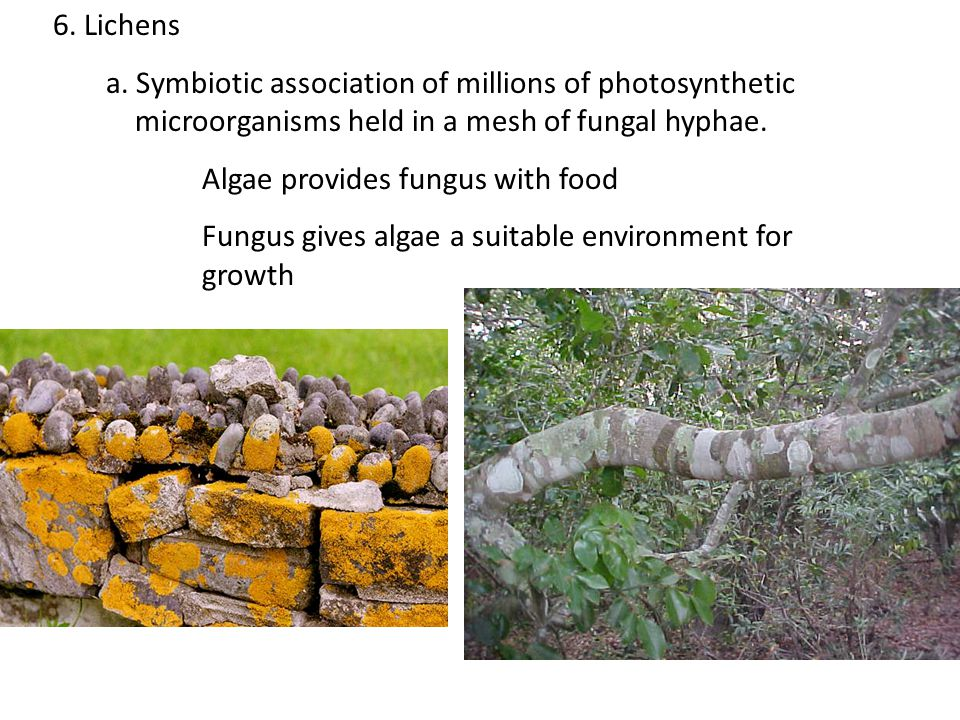 6. Lichens a. Symbiotic association of millions of photosynthetic microorganisms held in a mesh of fungal hyphae. Algae provides fungus with food Fung