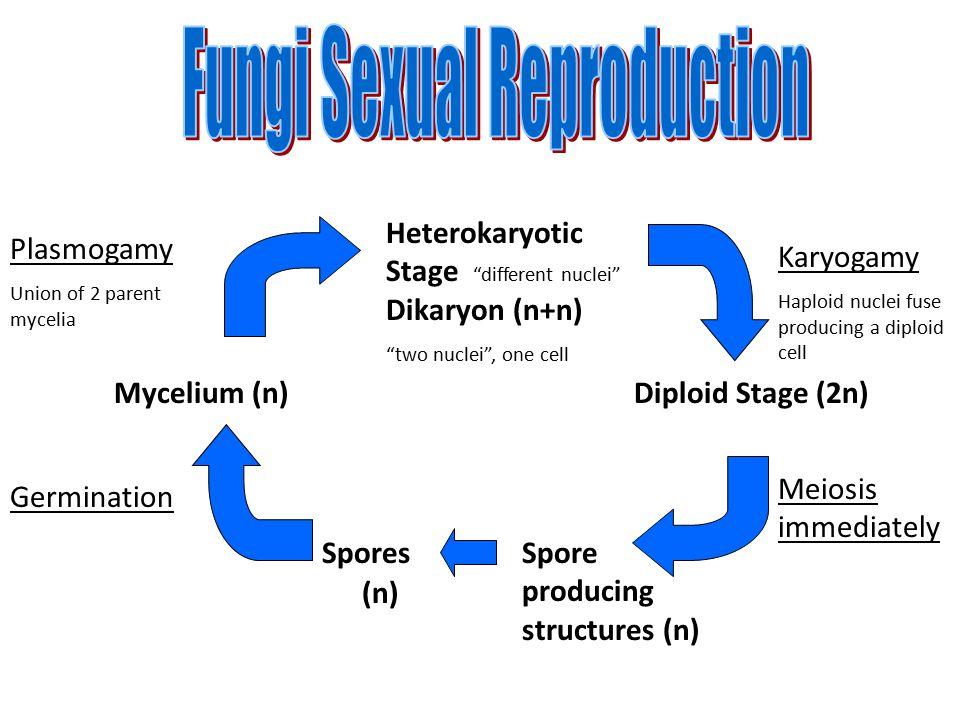 """Heterokaryotic Stage """"different nuclei"""" Dikaryon (n+n) """"two nuclei"""", one cell Diploid Stage (2n) Spore producing structures (n) Spores Mycelium (n) Ka"""