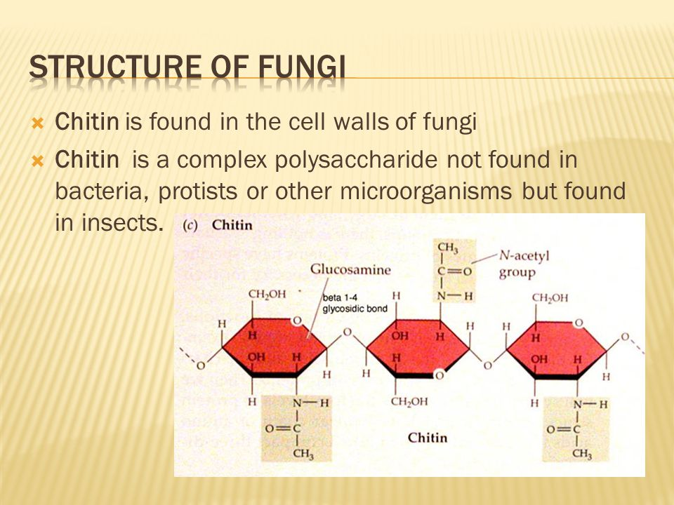  Chitin is found in the cell walls of fungi  Chitin is a complex polysaccharide not found in bacteria, protists or other microorganisms but found in