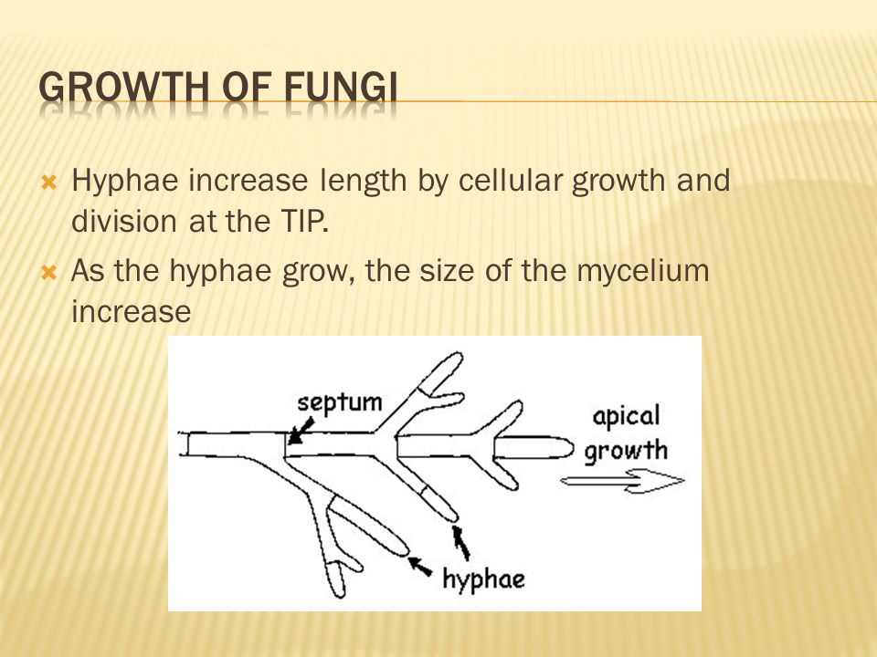  Hyphae increase length by cellular growth and division at the TIP.  As the hyphae grow, the size of the mycelium increase