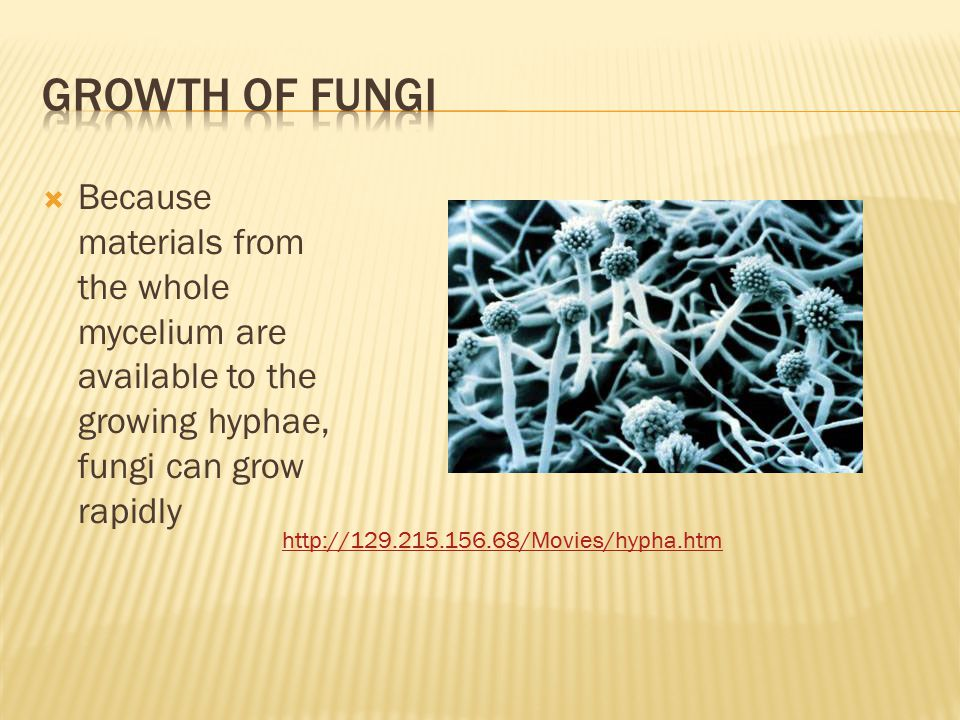  Because materials from the whole mycelium are available to the growing hyphae, fungi can grow rapidly http://129.215.156.68/Movies/hypha.htm