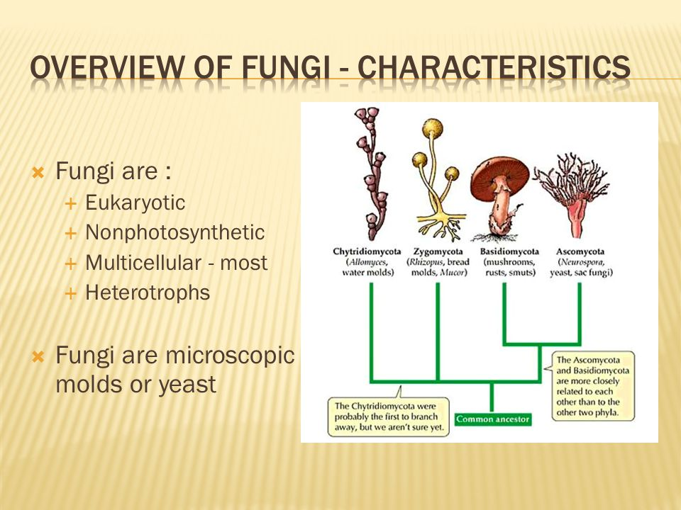  Fungi are :  Eukaryotic  Nonphotosynthetic  Multicellular - most  Heterotrophs  Fungi are microscopic molds or yeast