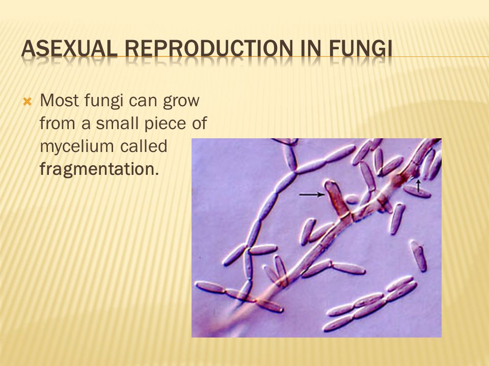  Most fungi can grow from a small piece of mycelium called fragmentation.