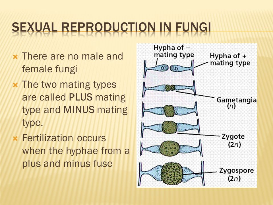  There are no male and female fungi  The two mating types are called PLUS mating type and MINUS mating type.  Fertilization occurs when the hyphae