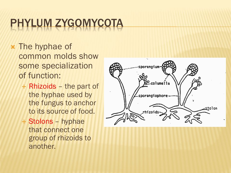  The hyphae of common molds show some specialization of function:  Rhizoids – the part of the hyphae used by the fungus to anchor to its source of f