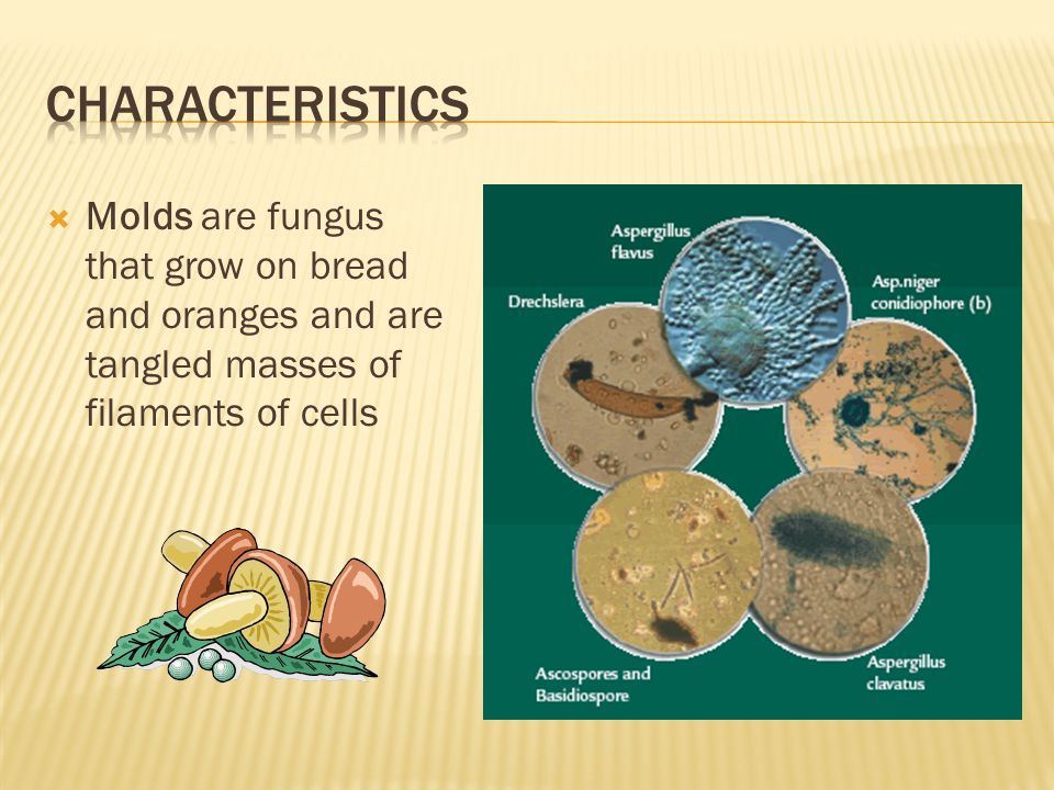  Molds are fungus that grow on bread and oranges and are tangled masses of filaments of cells