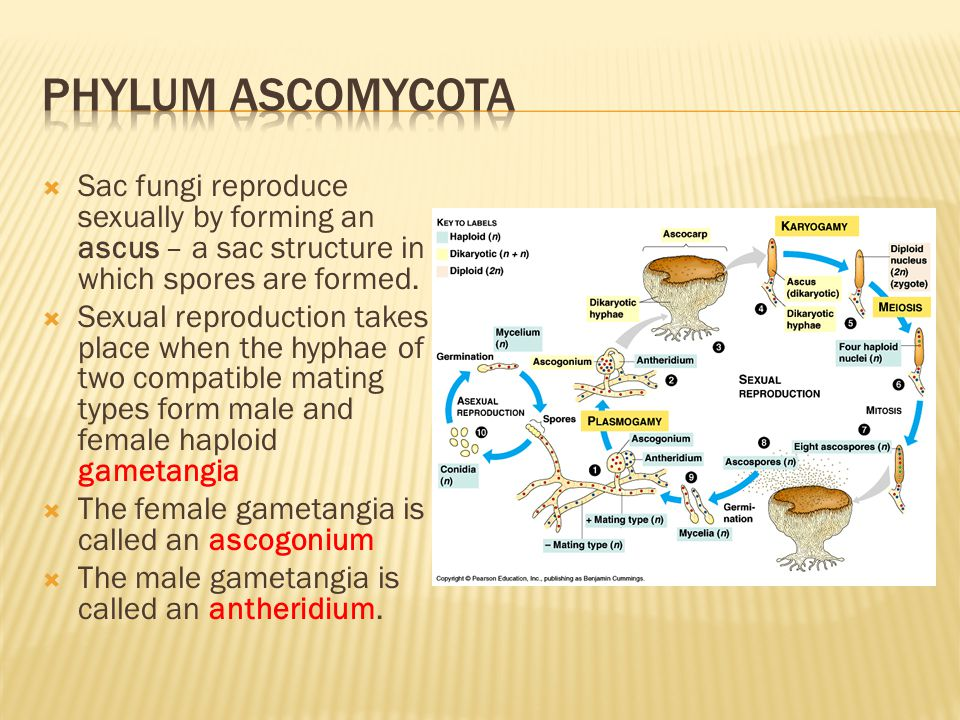  Sac fungi reproduce sexually by forming an ascus – a sac structure in which spores are formed.  Sexual reproduction takes place when the hyphae of