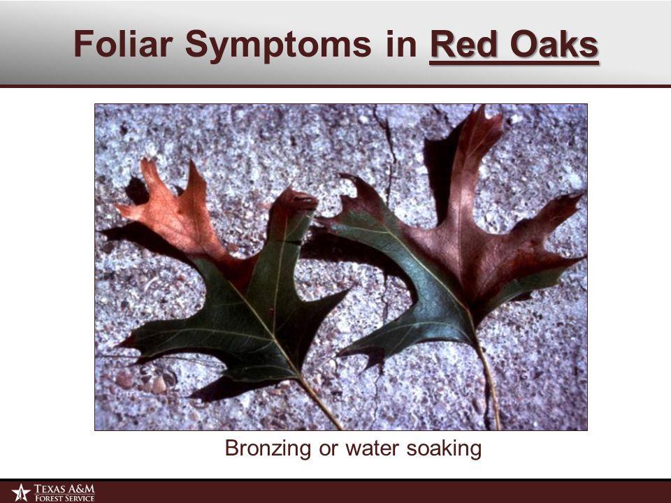 Red Oaks Foliar Symptoms in Red Oaks Bronzing or water soaking