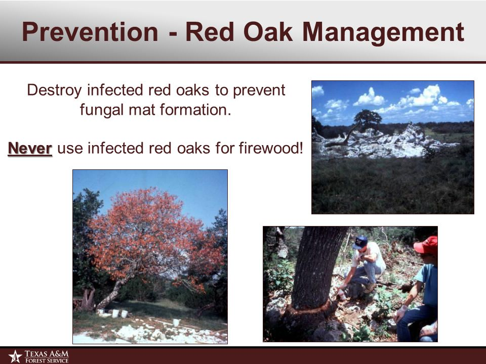 Prevention - Red Oak Management Destroy infected red oaks to prevent fungal mat formation.