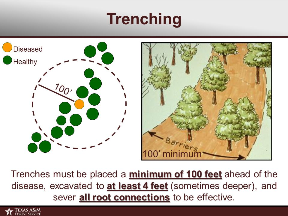 Trenching minimum of 100 feet at least 4 feet all root connections Trenches must be placed a minimum of 100 feet ahead of the disease, excavated to at least 4 feet (sometimes deeper), and sever all root connections to be effective.