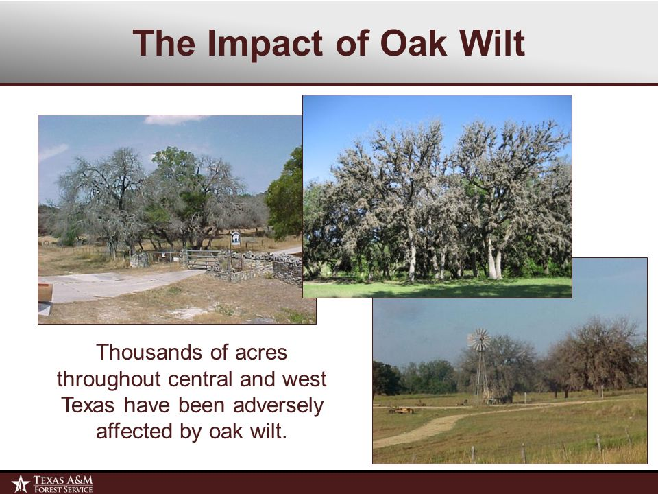 The Impact of Oak Wilt Oak wilt may reduce urban and suburban property values by 15-20%.