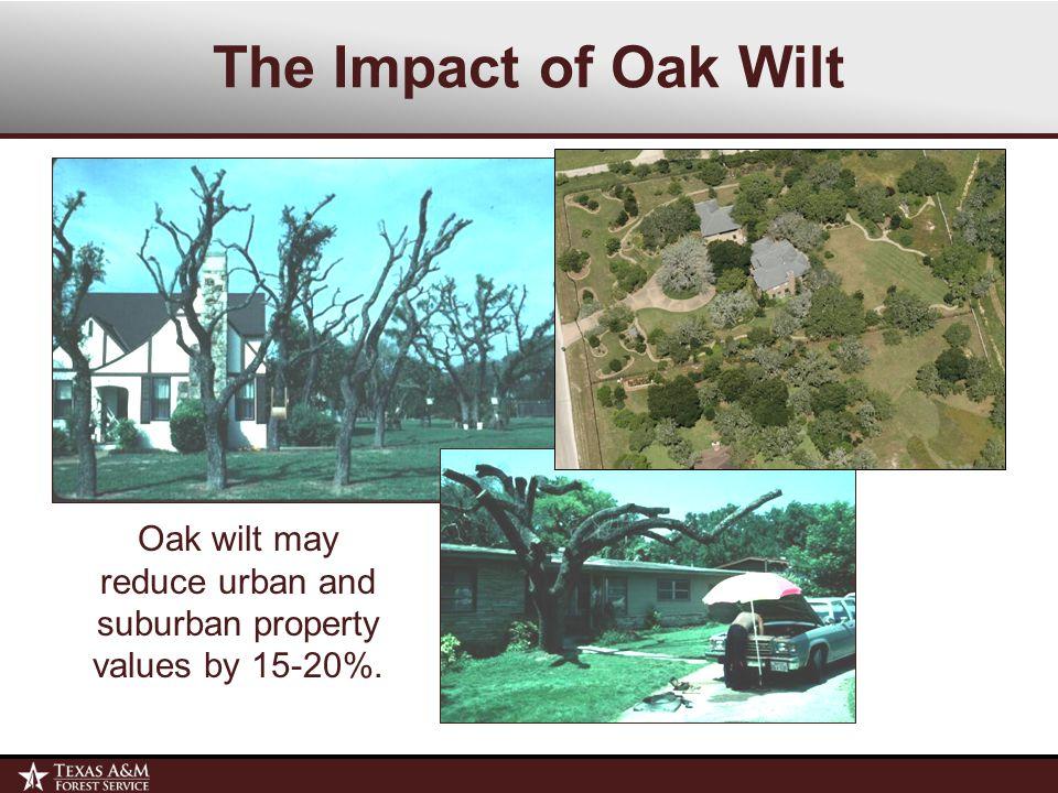 What Is Oak Wilt.