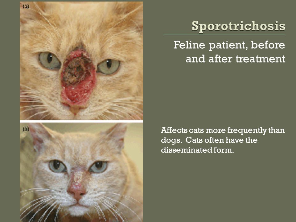 Feline patient, before and after treatment Affects cats more frequently than dogs. Cats often have the disseminated form.