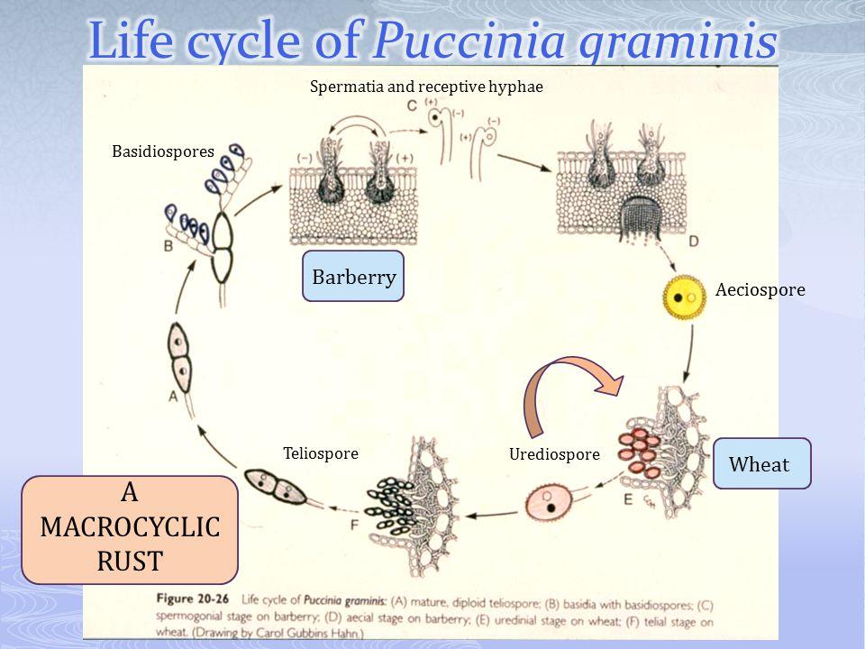 Basidiospores Spermatia and receptive hyphae Urediospore Teliospore Aeciospore BarberryWheat A MACROCYCLIC RUST
