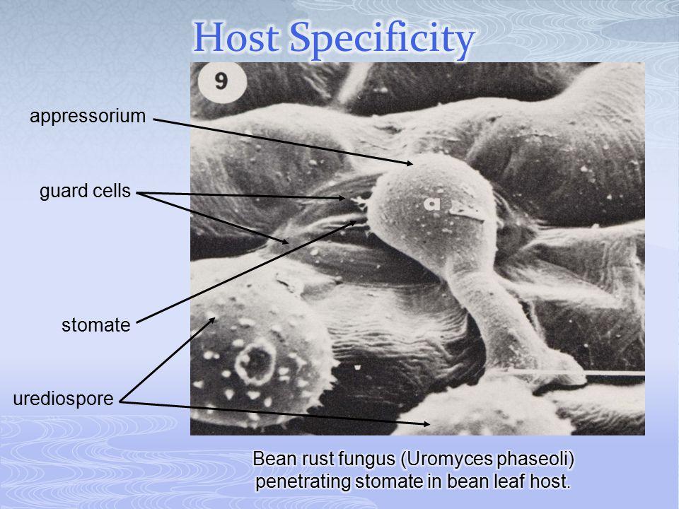 guard cells stomate urediospore appressorium