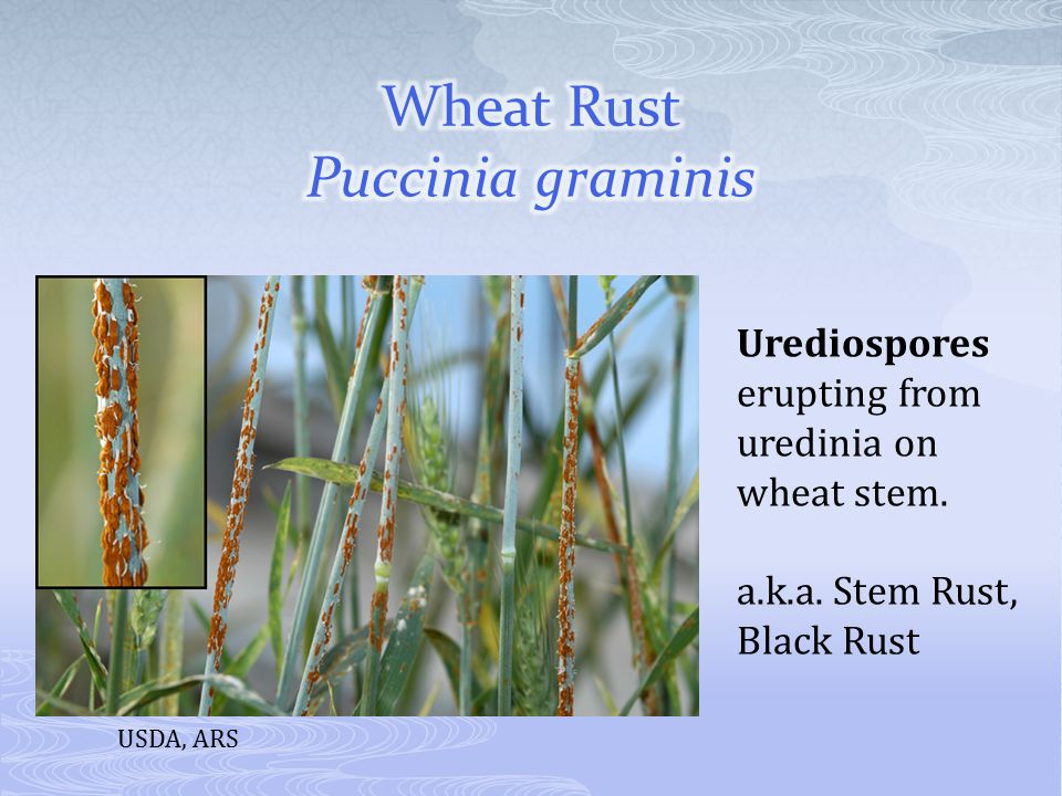 Urediospores erupting from uredinia on wheat stem. a.k.a. Stem Rust, Black Rust USDA, ARS