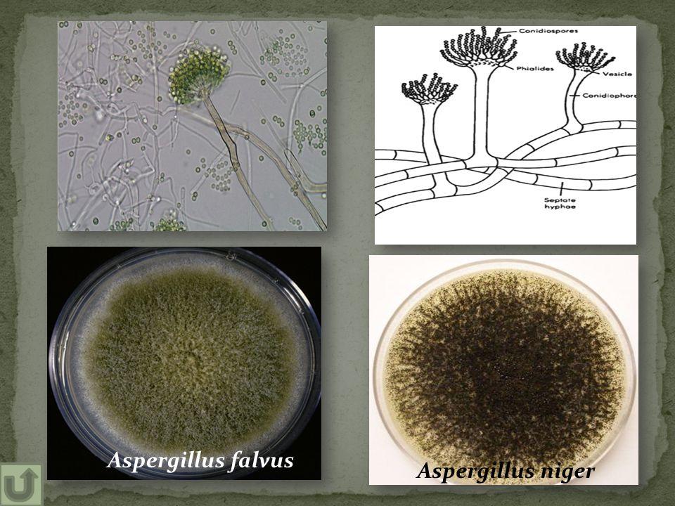 Aspergillus niger Aspergillus falvus