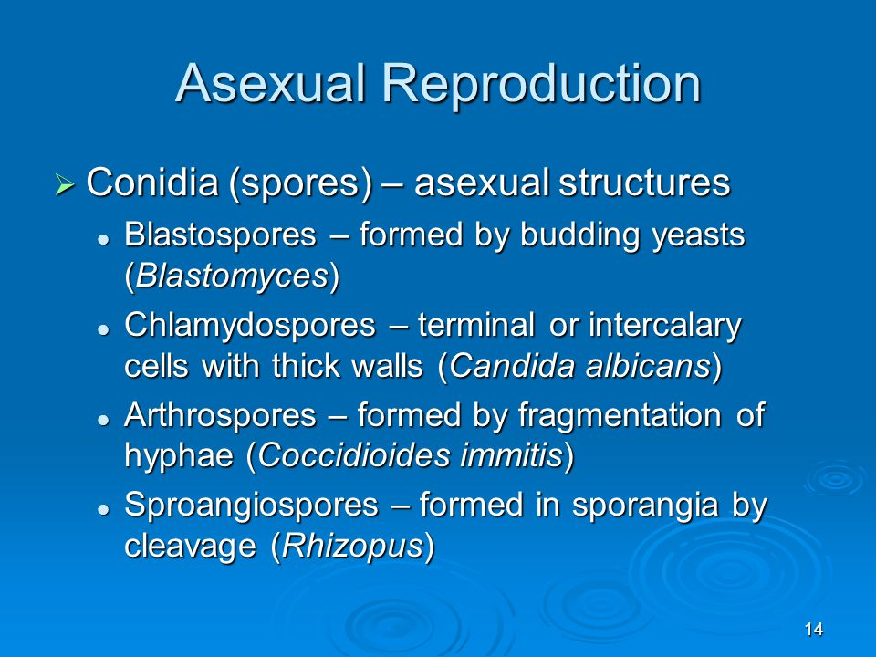 14 Asexual Reproduction  Conidia (spores) – asexual structures Blastospores – formed by budding yeasts (Blastomyces) Blastospores – formed by budding yeasts (Blastomyces) Chlamydospores – terminal or intercalary cells with thick walls (Candida albicans) Chlamydospores – terminal or intercalary cells with thick walls (Candida albicans) Arthrospores – formed by fragmentation of hyphae (Coccidioides immitis) Arthrospores – formed by fragmentation of hyphae (Coccidioides immitis) Sproangiospores – formed in sporangia by cleavage (Rhizopus) Sproangiospores – formed in sporangia by cleavage (Rhizopus)