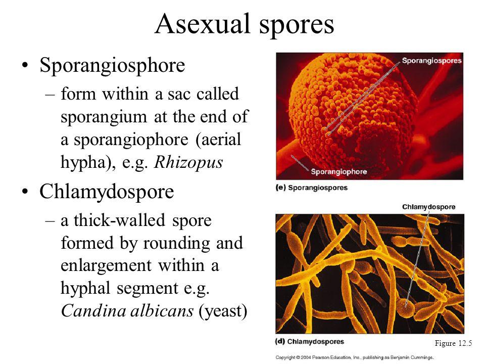 Sporangiosphore –form within a sac called sporangium at the end of a sporangiophore (aerial hypha), e.g. Rhizopus Chlamydospore –a thick-walled spore
