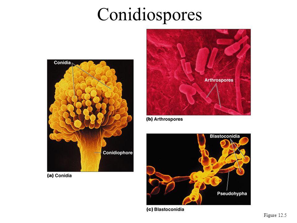 Conidiospores Figure 12.5