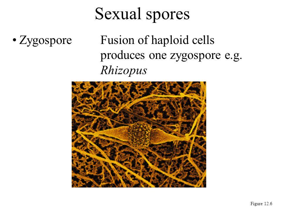 ZygosporeFusion of haploid cells produces one zygospore e.g. Rhizopus Sexual spores Figure 12.6