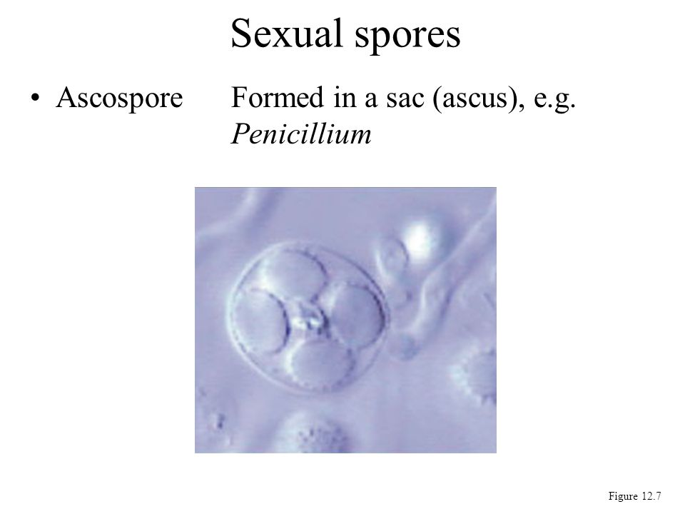 AscosporeFormed in a sac (ascus), e.g. Penicillium Sexual spores Figure 12.7
