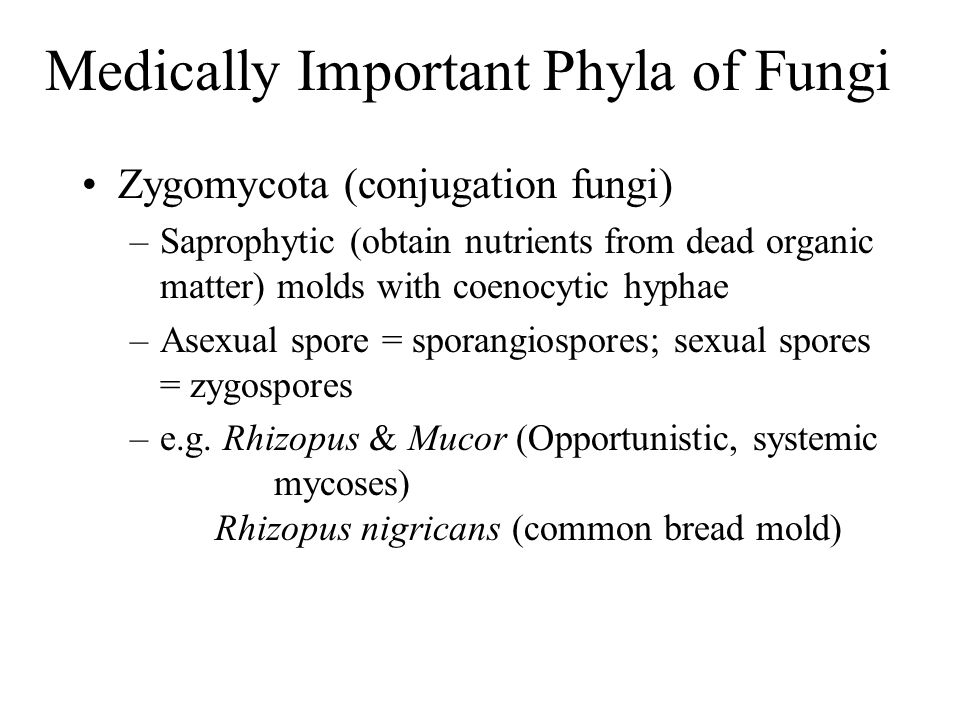 Medically Important Phyla of Fungi Zygomycota (conjugation fungi) –Saprophytic (obtain nutrients from dead organic matter) molds with coenocytic hypha