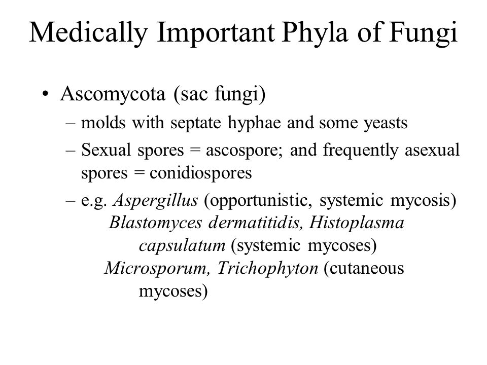 Medically Important Phyla of Fungi Ascomycota (sac fungi) –molds with septate hyphae and some yeasts –Sexual spores = ascospore; and frequently asexua
