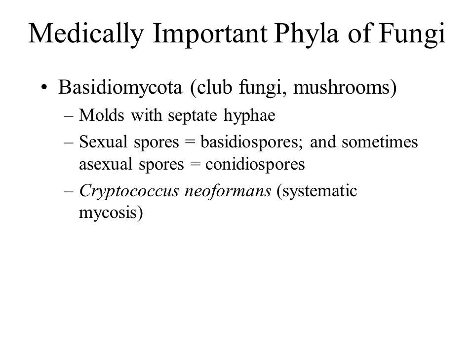 Basidiomycota (club fungi, mushrooms) –Molds with septate hyphae –Sexual spores = basidiospores; and sometimes asexual spores = conidiospores –Cryptoc