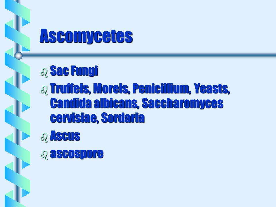 Ascomycetes b Sac Fungi b Truffels, Morels, Penicillium, Yeasts, Candida albicans, Saccharomyces cervisiae, Sordaria b Ascus b ascospore