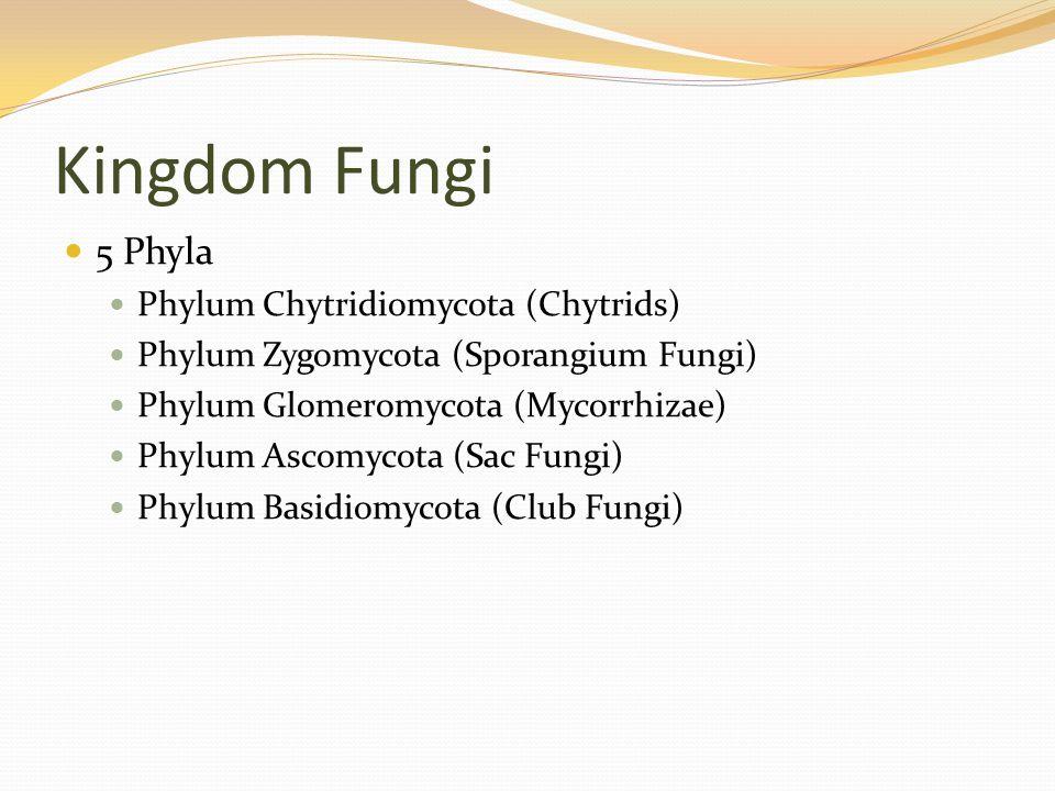 Kingdom Fungi 5 Phyla Phylum Chytridiomycota (Chytrids) Phylum Zygomycota (Sporangium Fungi) Phylum Glomeromycota (Mycorrhizae) Phylum Ascomycota (Sac Fungi) Phylum Basidiomycota (Club Fungi)