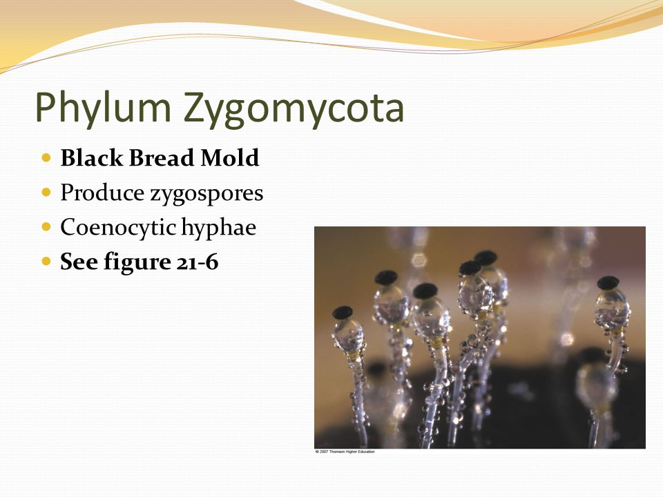 Phylum Zygomycota Black Bread Mold Produce zygospores Coenocytic hyphae See figure 21-6