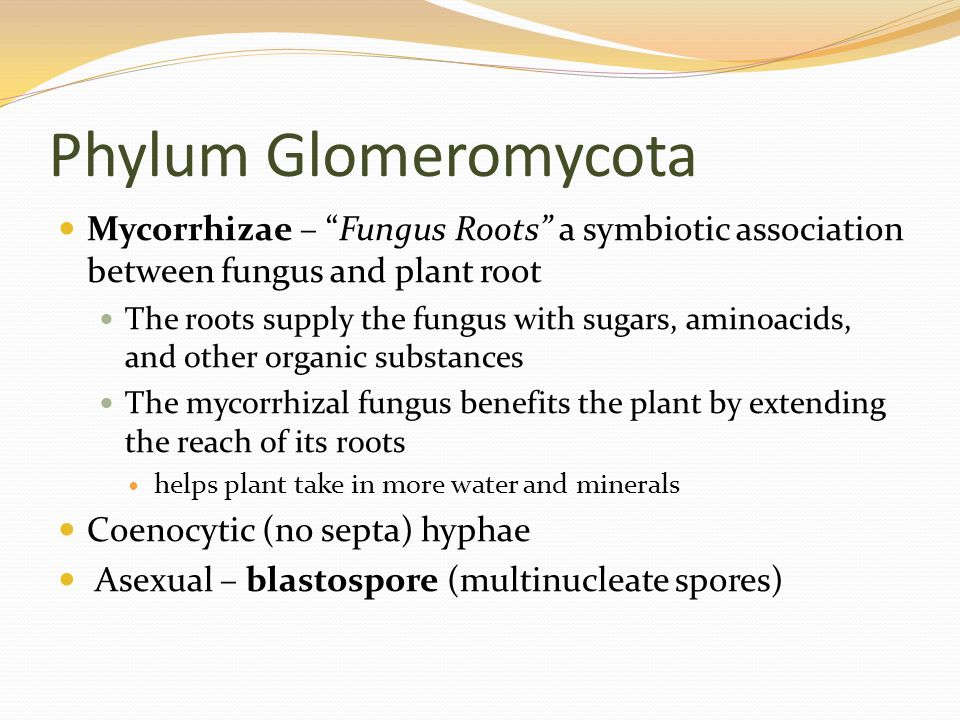 Phylum Glomeromycota Mycorrhizae – Fungus Roots a symbiotic association between fungus and plant root The roots supply the fungus with sugars, aminoacids, and other organic substances The mycorrhizal fungus benefits the plant by extending the reach of its roots helps plant take in more water and minerals Coenocytic (no septa) hyphae Asexual – blastospore (multinucleate spores)