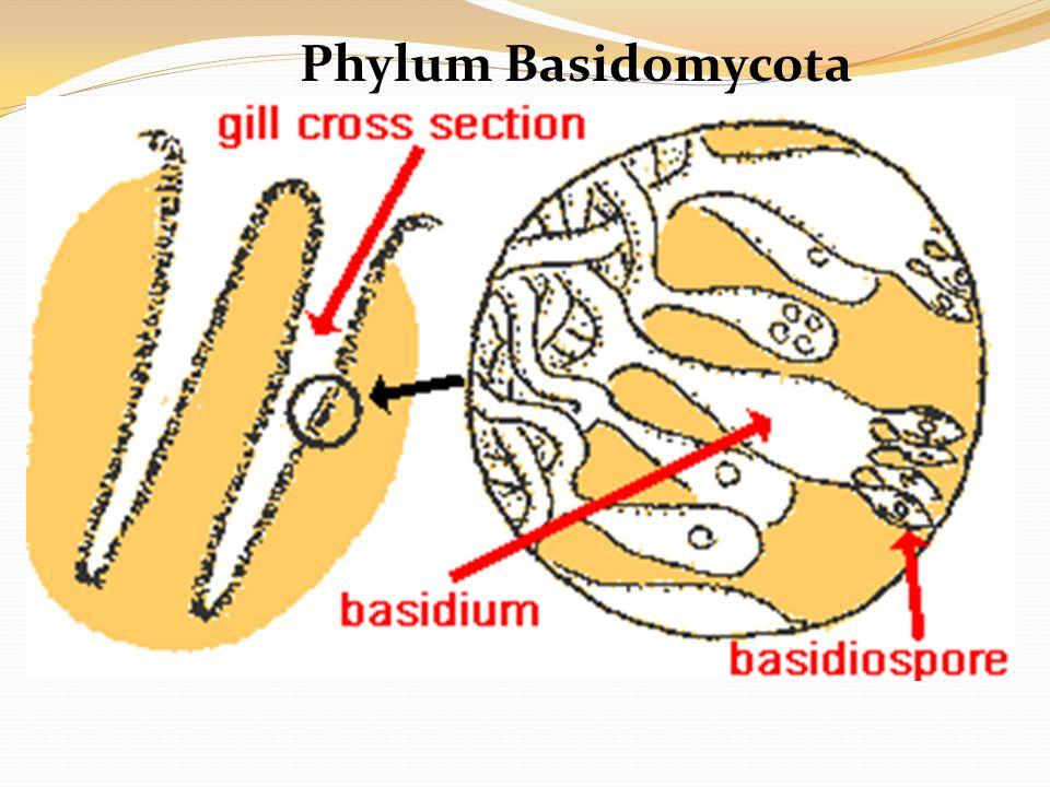 Phylum Basidomycota