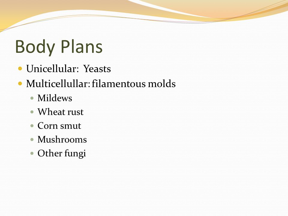 Body Plans Unicellular: Yeasts Multicellullar: filamentous molds Mildews Wheat rust Corn smut Mushrooms Other fungi
