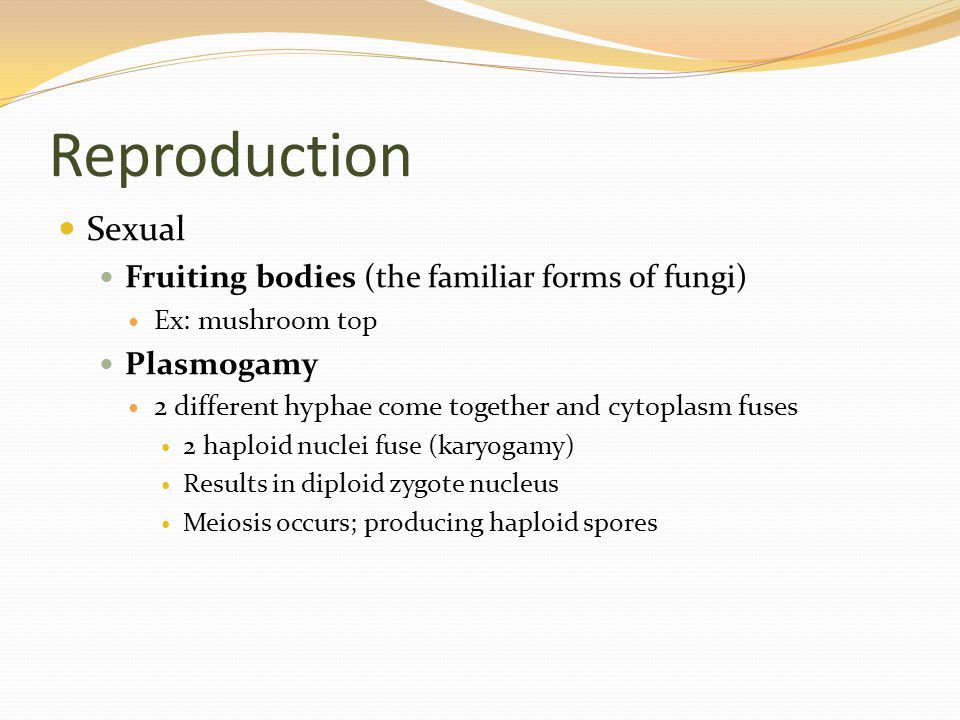 Reproduction Sexual Fruiting bodies (the familiar forms of fungi) Ex: mushroom top Plasmogamy 2 different hyphae come together and cytoplasm fuses 2 haploid nuclei fuse (karyogamy) Results in diploid zygote nucleus Meiosis occurs; producing haploid spores