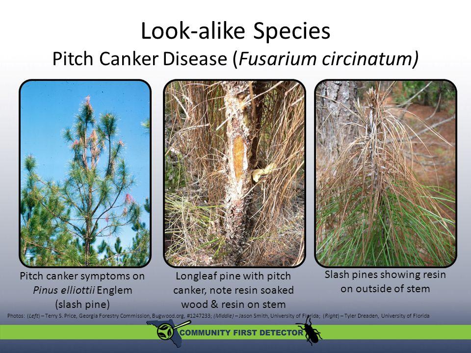 Look-alike Species Pitch Canker Disease (Fusarium circinatum) Photos: (Left) – Terry S.