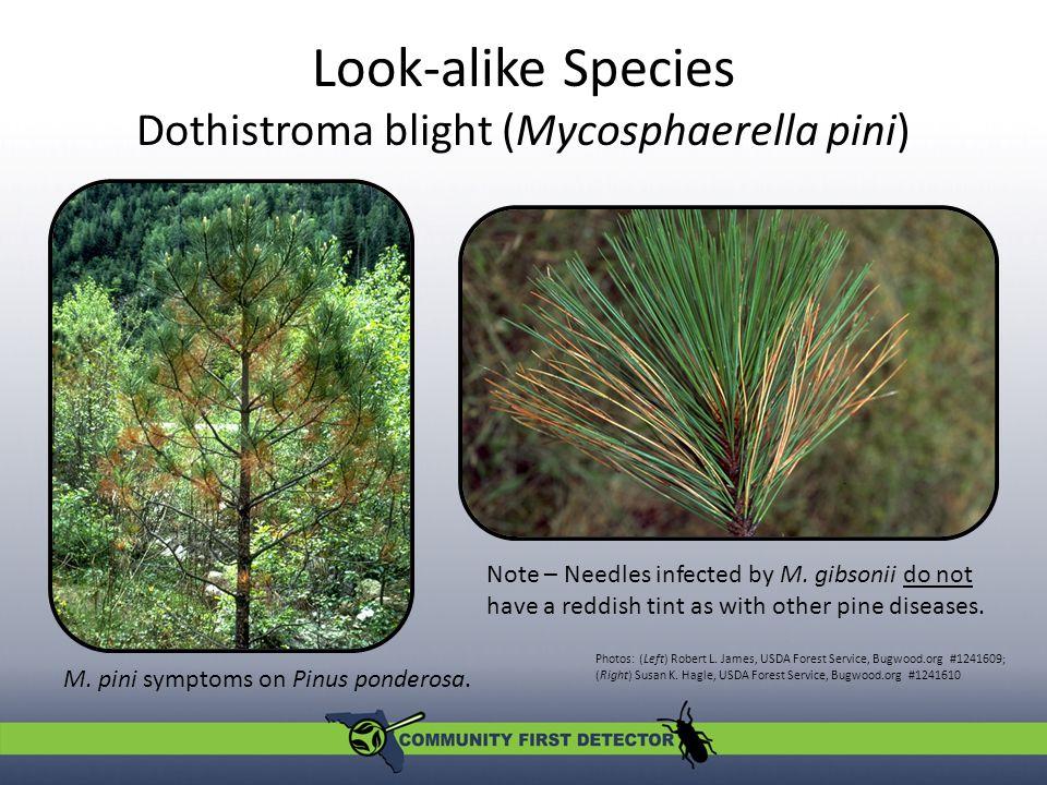 Look-alike Species Dothistroma blight (Mycosphaerella pini) Photos: (Left) Robert L.