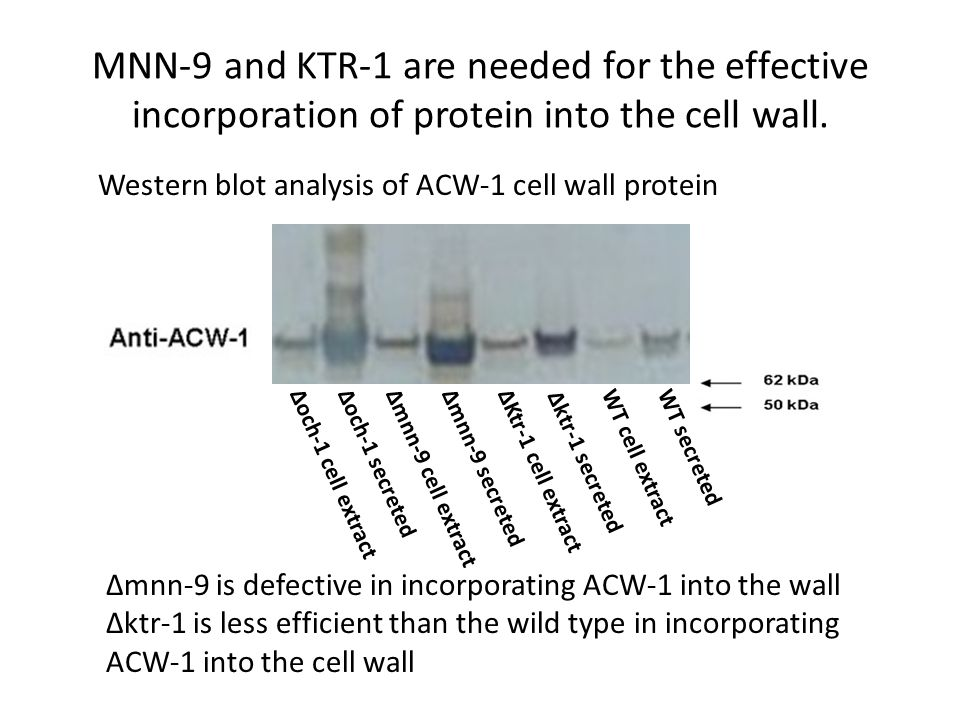 MNN-9 and KTR-1 are needed for the effective incorporation of protein into the cell wall.