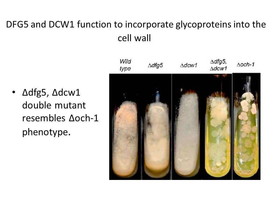Δdfg5, Δdcw1 double mutant resembles Δoch-1 phenotype.