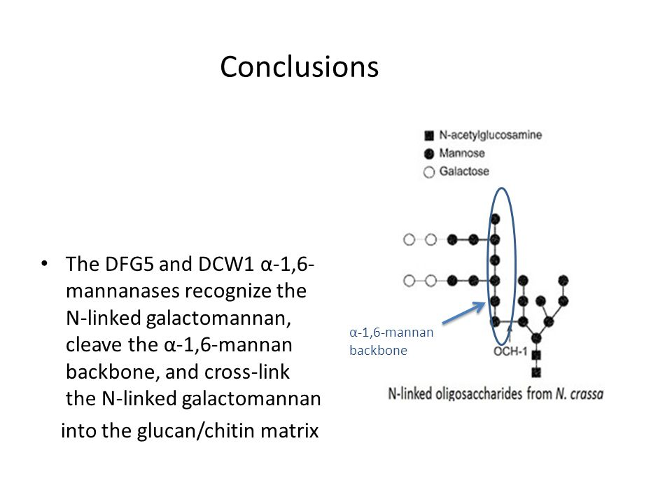 The DFG5 and DCW1 α-1,6- mannanases recognize the N-linked galactomannan, cleave the α-1,6-mannan backbone, and cross-link the N-linked galactomannan into the glucan/chitin matrix Conclusions α-1,6-mannan backbone