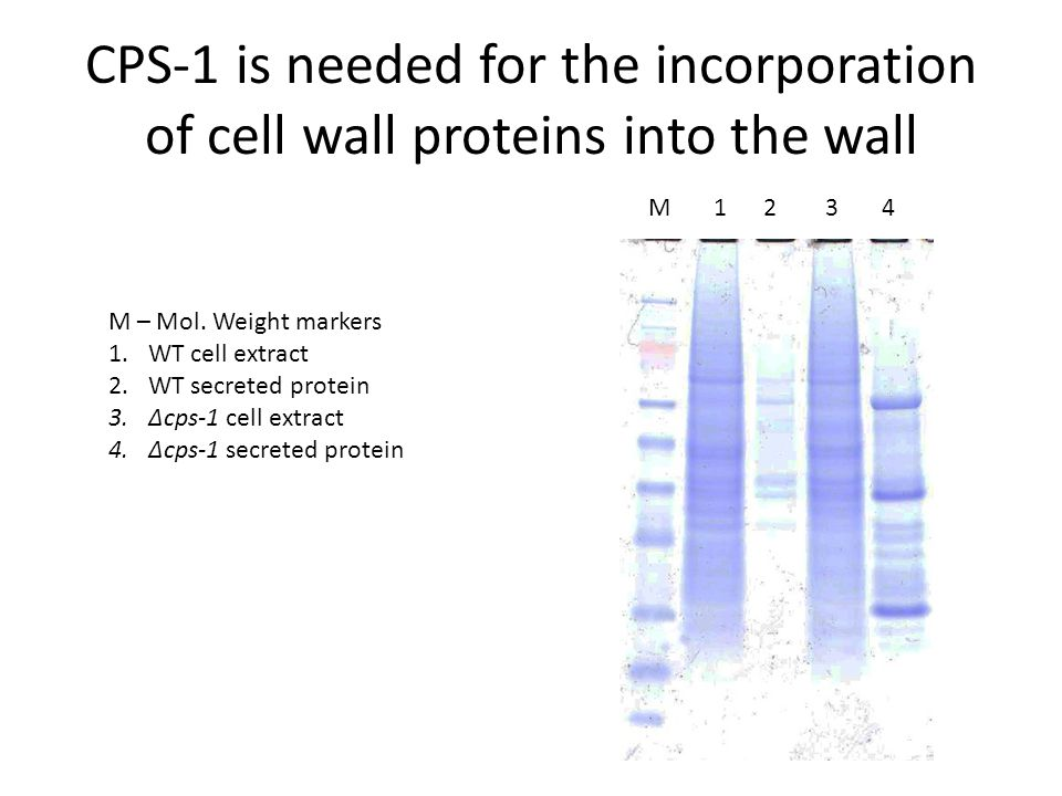 CPS-1 is needed for the incorporation of cell wall proteins into the wall M – Mol.