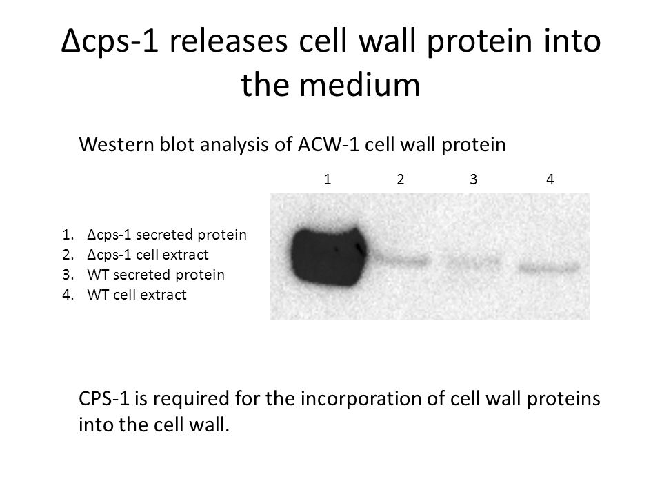 Δcps-1 releases cell wall protein into the medium 1 2 3 4 1.Δcps-1 secreted protein 2.Δcps-1 cell extract 3.WT secreted protein 4.WT cell extract Western blot analysis of ACW-1 cell wall protein CPS-1 is required for the incorporation of cell wall proteins into the cell wall.