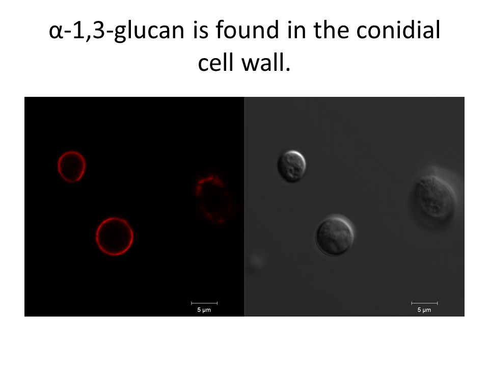 α-1,3-glucan is found in the conidial cell wall.