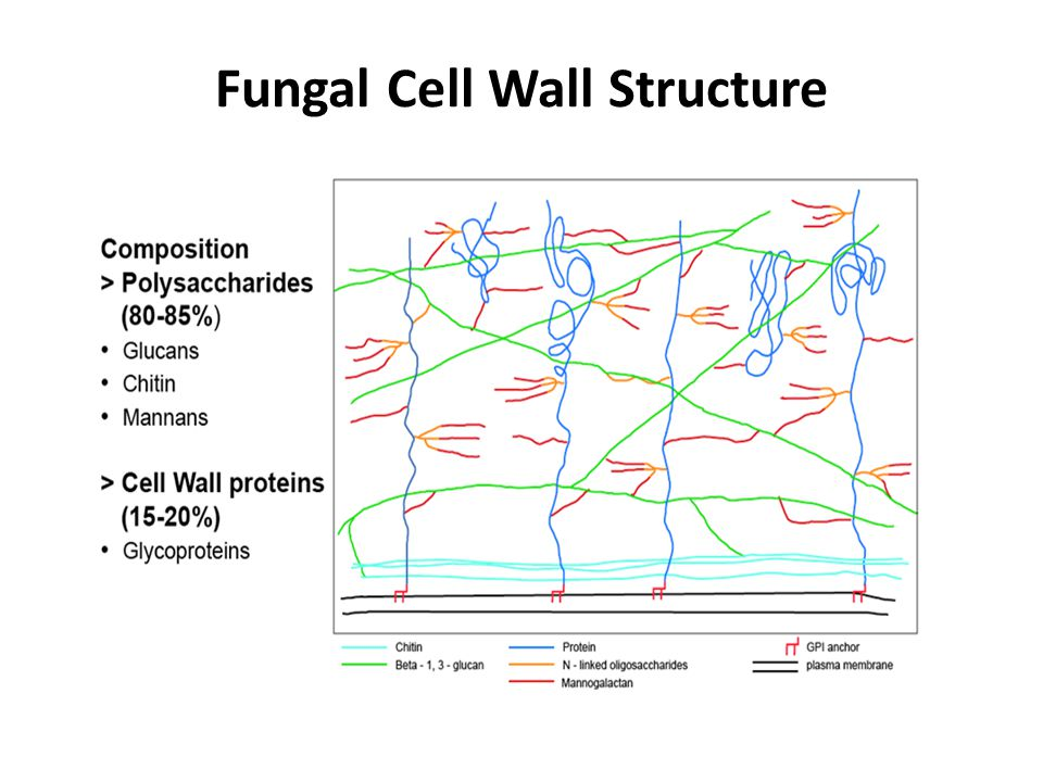 The Δdfg5, Δdcw1 double mutant is defective in incorporating cell wall proteins into the wall.
