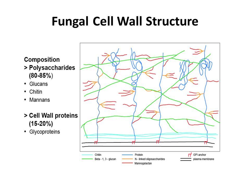 α-1,3-glucan is found in the conidial cell wall.