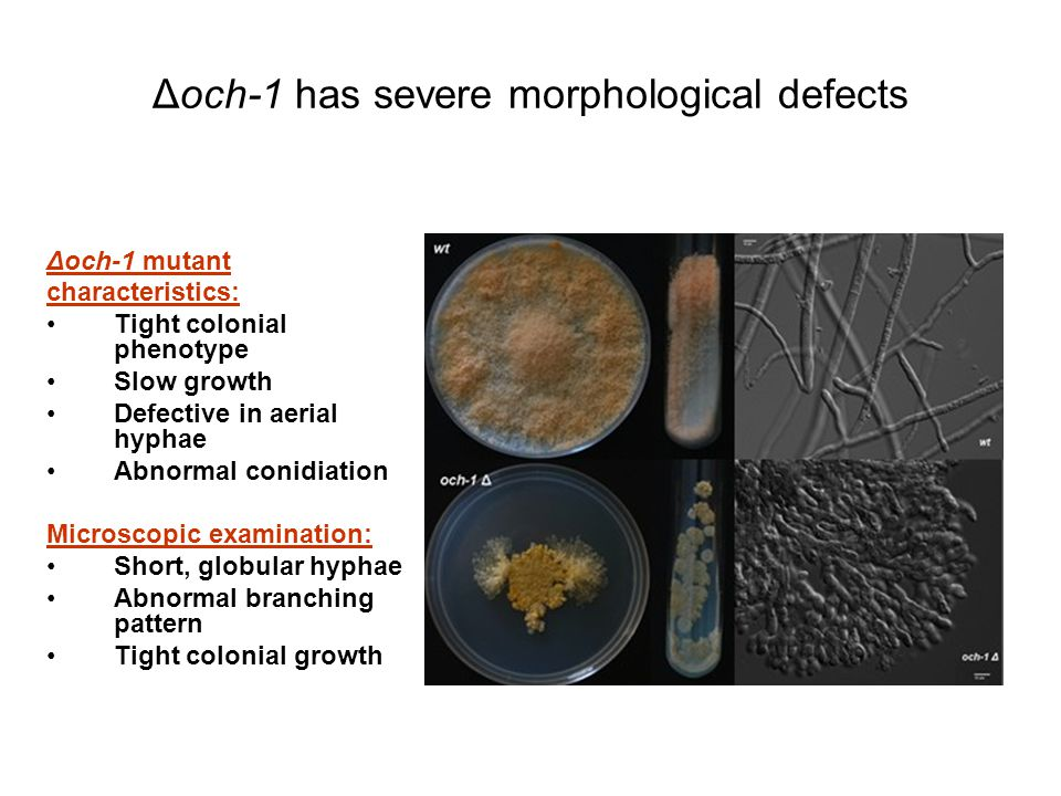 Δoch-1 mutant characteristics: Tight colonial phenotype Slow growth Defective in aerial hyphae Abnormal conidiation Microscopic examination: Short, globular hyphae Abnormal branching pattern Tight colonial growth Δoch-1 has severe morphological defects