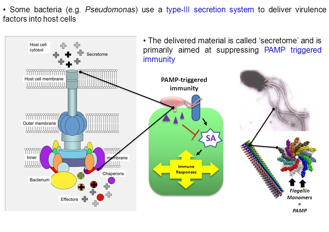 Some bacteria (e.g. Pseudomonas) use a type-III secretion system to deliver virulence factors into host cells The delivered material is called 'secret
