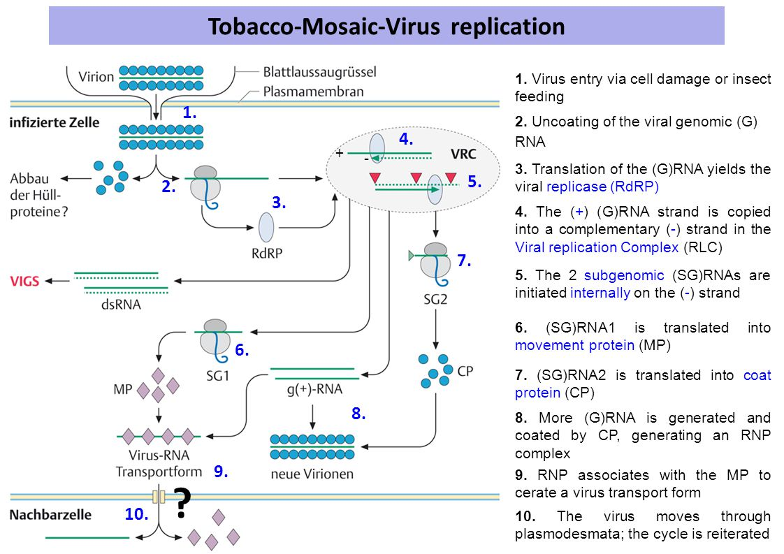 Tobacco-Mosaic-Virus replication 1.Virus entry via cell damage or insect feeding 1.
