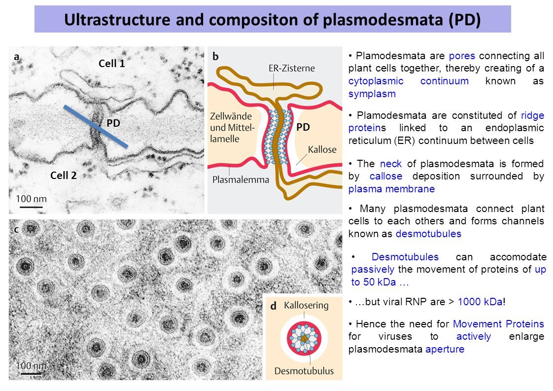 Ultrastructure and compositon of plasmodesmata (PD) Plamodesmata are pores connecting all plant cells together, thereby creating of a cytoplasmic continuum known as symplasm Cell 1 Cell 2 PD Plamodesmata are constituted of ridge proteins linked to an endoplasmic reticulum (ER) continuum between cells The neck of plasmodesmata is formed by callose deposition surrounded by plasma membrane Desmotubules can accomodate passively the movement of proteins of up to 50 kDa … Many plasmodesmata connect plant cells to each others and forms channels known as desmotubules …but viral RNP are > 1000 kDa.